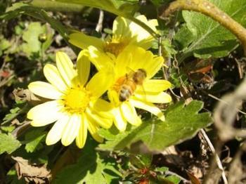 H25.11月6日 ミツバチ 花粉収集.jpg