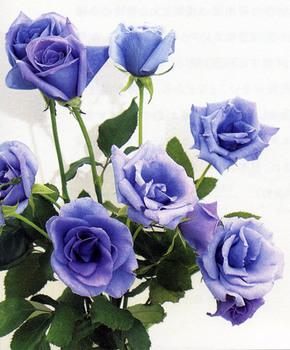 青いバラ.jpg