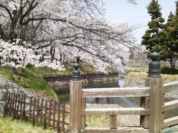 H25.五稜郭 桜 1.jpg